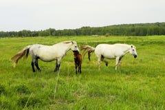 Il gregge dei cavalli sta pascendo in uno schiarimento della foresta Un pascolo dei cavalli Fotografia Stock