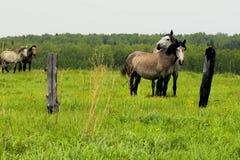 Il gregge dei cavalli sta pascendo in uno schiarimento della foresta Un pascolo dei cavalli Fotografie Stock
