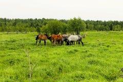 Il gregge dei cavalli sta pascendo in uno schiarimento della foresta Un pascolo dei cavalli Fotografia Stock Libera da Diritti