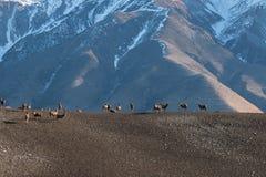 Il gregge dei cervi pasce sul pascolo della montagna al primo mattino Fotografia Stock Libera da Diritti