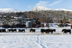 Il gregge del bestiame gode di di mangiare il giorno soleggiato Fotografia Stock