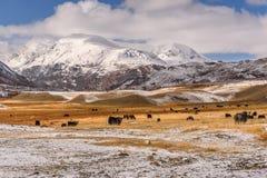 Il gregge del cavallo dei yak della neve delle montagne pasce l'autunno Immagini Stock