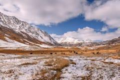 Il gregge del cavallo dei yak della neve delle montagne pasce l'autunno Fotografia Stock