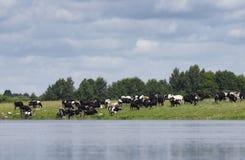 Il gregge dell'agricoltore delle mucche è pascuto Immagine Stock Libera da Diritti