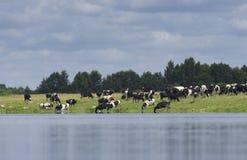 Il gregge dell'agricoltore delle mucche è pascuto Fotografia Stock Libera da Diritti