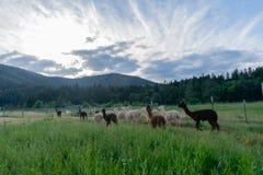 Il gregge dell'alpaca si è diretto a casa a fine giornata sotto i bei cieli Immagini Stock Libere da Diritti