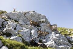 Il gregge della capra scala su una roccia nelle alpi della Slovenia Fotografie Stock Libere da Diritti