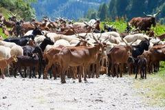 Il gregge della capra sulla strada Immagine Stock Libera da Diritti