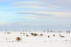 Il gregge della renna pasce nella tundra immagine stock