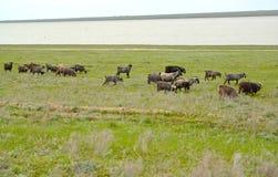Il gregge delle capre è pascuto sulla sponda del fiume Manych nello spri Fotografia Stock