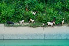 Il gregge delle capre cammina per trovare il cibo immagine stock