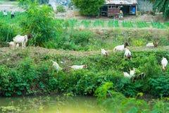Il gregge delle capre cammina per trovare il cibo intorno al canale immagine stock libera da diritti
