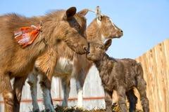 Il gregge delle capre degli animali domestici. fotografie stock libere da diritti