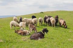 Il gregge delle capre pasce su un pascolo della montagna Immagine Stock Libera da Diritti