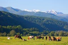 Il gregge delle mucche è pascuto su un pascolo dell'estate Immagine Stock