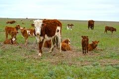Il gregge delle mucche è pascuto su un pascolo della steppa La Calmucchia Fotografia Stock