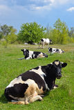 Il gregge delle mucche Immagini Stock Libere da Diritti