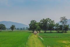 Il gregge delle mucche cammina attraverso sul giacimento del riso immagini stock libere da diritti