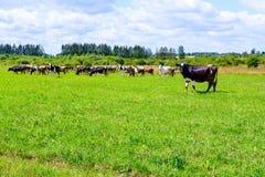 Il gregge delle mucche cammina sul campo immagini stock