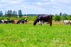 Il gregge delle mucche cammina sul campo contro il cielo blu con le nuvole Immagini Stock