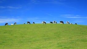 Il gregge delle mucche pasce su un orizzonte Fotografia Stock Libera da Diritti