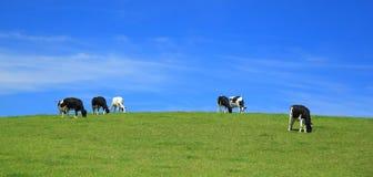 Il gregge delle mucche pasce su un orizzonte Fotografie Stock