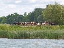 Il gregge delle mucche va su un pascolo Fotografia Stock