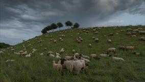 Il gregge delle pecore è pascuto nella sera sul sobborgo di Hannover Bassa Sassonia germany Lasso di tempo video d archivio