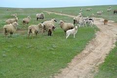Il gregge delle pecore è in primavera steppa pascuta La Calmucchia Fotografia Stock