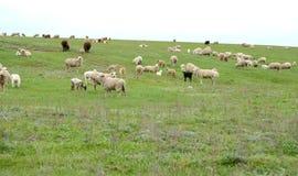 Il gregge delle pecore è in primavera steppa pascuta La Calmucchia Fotografia Stock Libera da Diritti