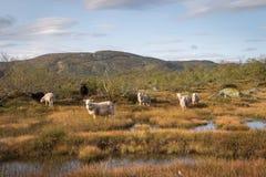 Il gregge delle pecore in una montagna abbellisce in Norvegia Immagine Stock Libera da Diritti