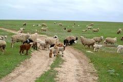 Il gregge delle pecore va su un pascolo della steppa sulla strada non asfaltata Kal Fotografia Stock