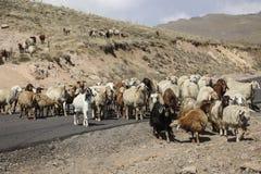 Il gregge delle ram e delle capre attraversa la strada al piede del inact immagine stock libera da diritti