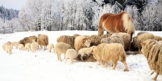 Gregge delle pecore e del cavallo Immagine Stock