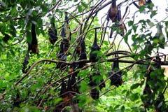 Il gregge di caduta di lylei del Pteropus dei pipistrelli sull'albero a Wat Pho, Chaserngsao, Tailandia fotografia stock libera da diritti