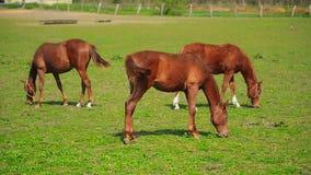 Il gregge di giovani cavalli pasce sul ranch dell'azienda agricola, animali sul pascolo dell'estate stock footage