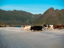 Il gregge di giovani mucche sta correndo lungo la spiaggia su un fondo delle montagne Immagini Stock Libere da Diritti