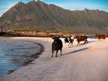 Il gregge di giovani mucche sta correndo lungo la spiaggia su un fondo delle montagne Immagini Stock