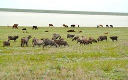 Il gregge misto delle capre e delle mucche è pascuto sulla steppa di Manych della sponda del fiume in primavera La Calmucchia Fotografie Stock