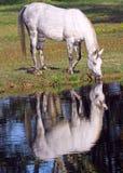 Il Grey dapple la cavalla Immagini Stock Libere da Diritti