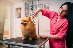 Il groomer dell'animale domestico con le forbici fa il cane governare fotografia stock libera da diritti