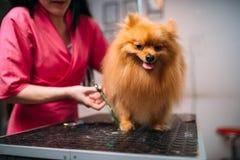 Il groomer dell'animale domestico taglia con gli artigli di forbici di un cane Fotografia Stock