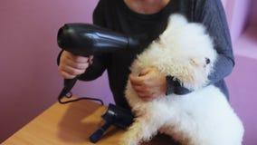 Il groomer della donna asciuga i peli di cane del frise del bichon con l'asciugacapelli dopo il bagno archivi video