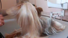 Il Groomer pettina l'Yorkshire terrier dei capelli archivi video