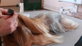 Il Groomer pettina l'Yorkshire terrier dei capelli archivi video