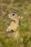 Il Groundsquirrel di Belding Immagine Stock