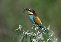 Il gruccione si siede su un ramo e tiene una grande libellula in suo becco immagini stock libere da diritti