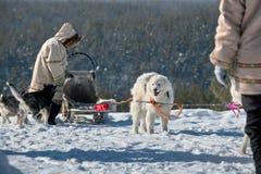 Il gruppo del cane di slitta sta aspettando le corse, Yakutia fotografie stock libere da diritti