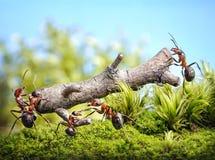 Il gruppo delle formiche porta il ceppo, lavoro di squadra Fotografia Stock