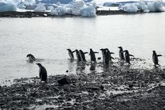 Il gruppo di acqua entrante del pinguino del adelie con la baia ha riempito di iceberg nel fondo immagine stock